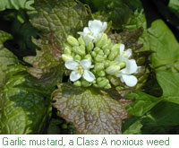 Garlic mustard, a Class A noxious weed - click for more information