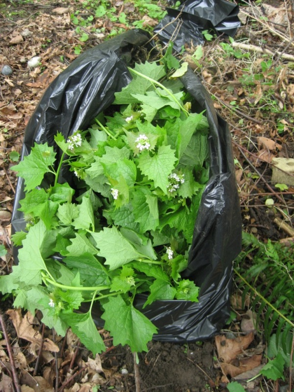 Garlic mustard pulled and bagged