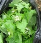 Garlic mustard pulled and bagged - click for larger image