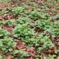 Garlic mustard carpet - click for larger image