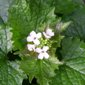 Garlic mustard flowers from above - click for larger image