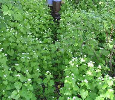 Garlic mustard patch - click for larger image