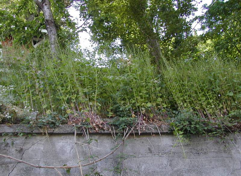 Garlic mustard in seed on wall