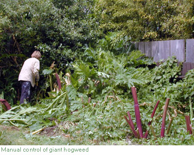 Cutting down giant hogweed