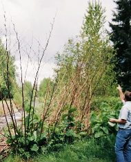 Giant Knotweed Stalks