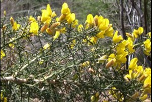 Gorse flowering - click for larger image