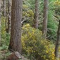 Gorse in forest - click for larger image