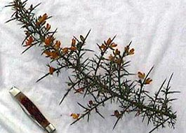 gorse and knife comparison - click for larger image