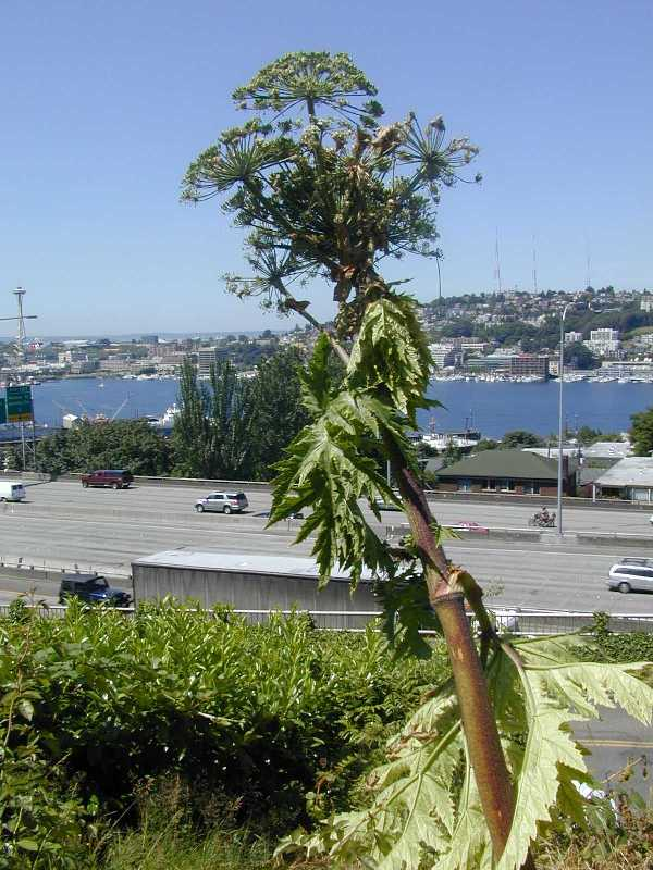 Giang hogweed Lake Union view