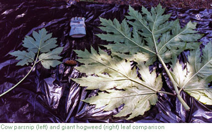 Giant hogweed and cow parsnip leaf comparison