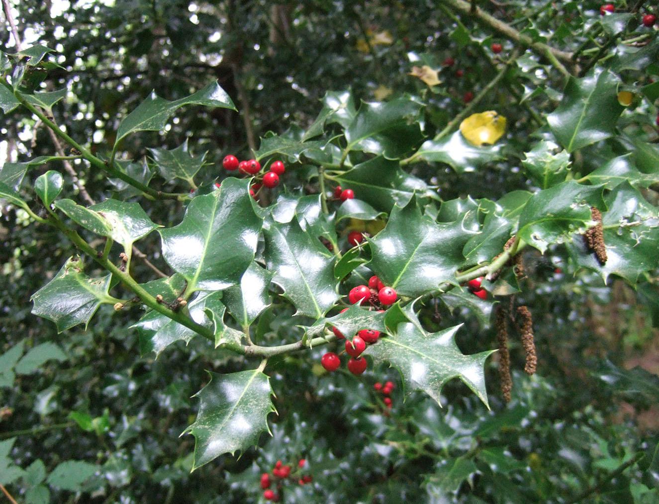 English Holly Identification And Control Ilex Aquifolium King County