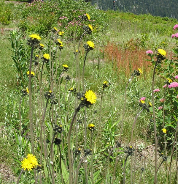 yellow hawkweed at Snoqualmie Pass