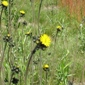 yellow hawkweed at Snoqualmie Pass - click for larger image