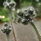 yellow hawkweed buds - click for larger image