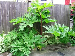 Giant hogweed growing against a fence - click for larger image