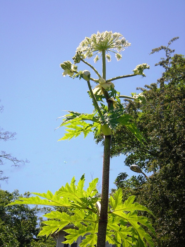 hogweed_flowering_bluesky