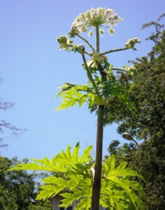 Flowering giant hogweed - click for larger image