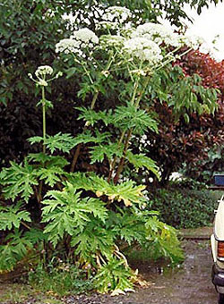 Giant hogweed in flower