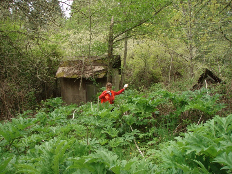 Giant hogweed infestation