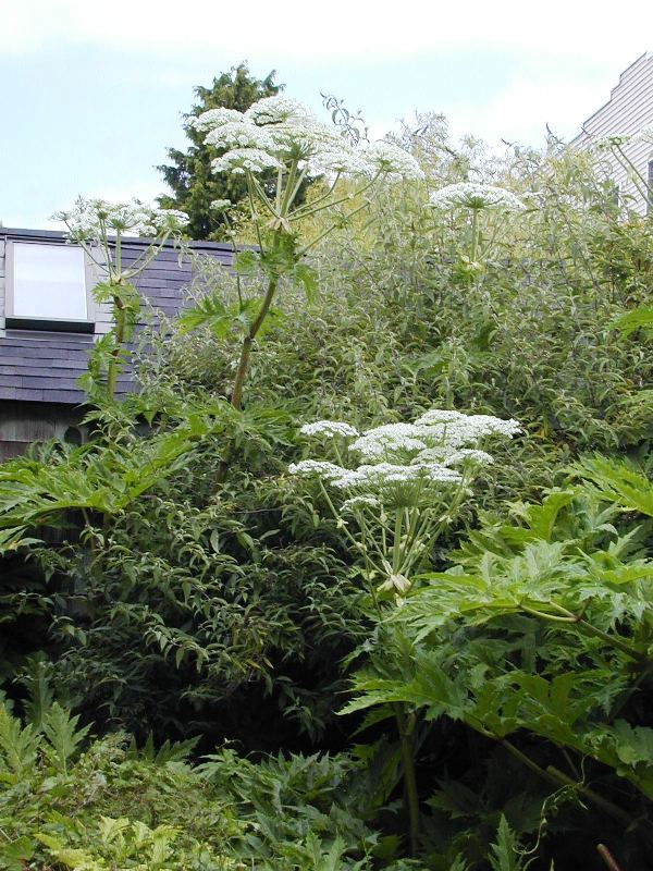 Giant hogweed flowering plants