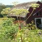 Giant hogweed in seed by barn - click for larger image