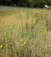 European hawkweed (Hieracium sabaudum) on highway I-90 road shoulder- click for larger image