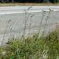 European hawkweed (Hieracium sabaudum) on I-90 road shoulder - click for larger image