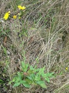 European hawkweed (Hieracium sabaudum) flowering plant - click for larger image