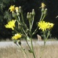 European hawkweed (Hieracium sabaudum) flowers - click for larger image