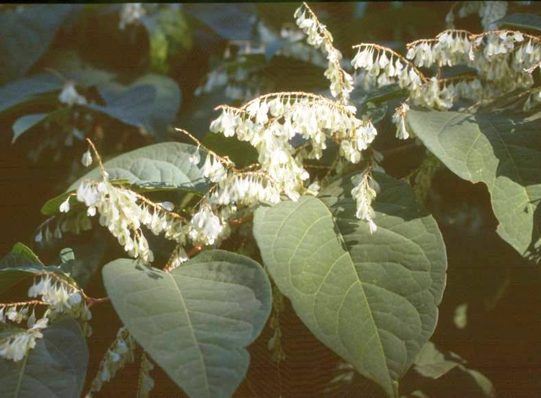Japanese knotweed flower clusters