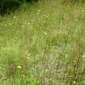 European hawkweed (Hieracium sabaudum) infestation - click for larger image