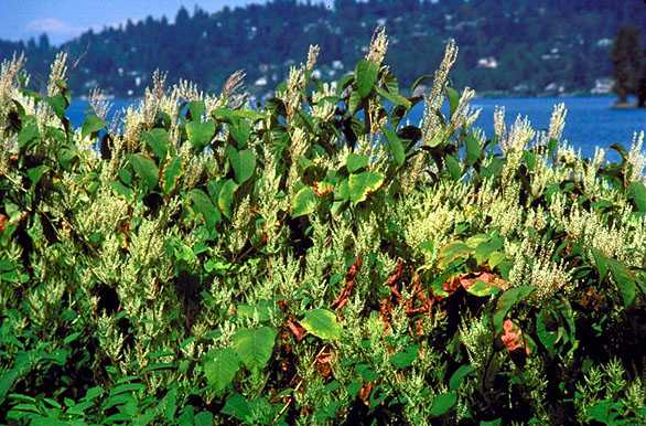 Knotweed by Lake Washington