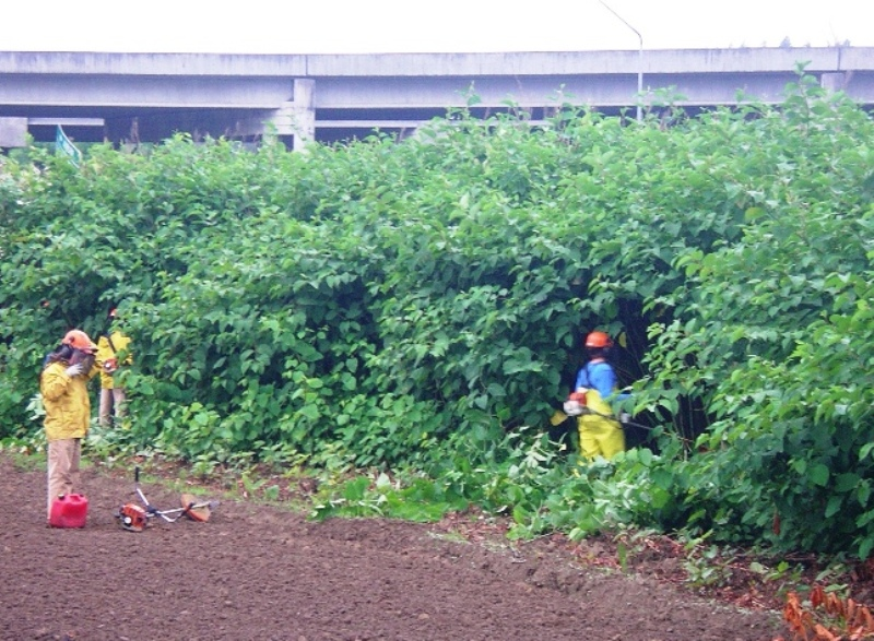 Brush cutting knotweed