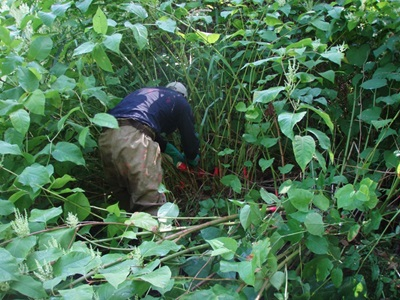 worker injecting invasive knotweed - click for more information on knotweed
