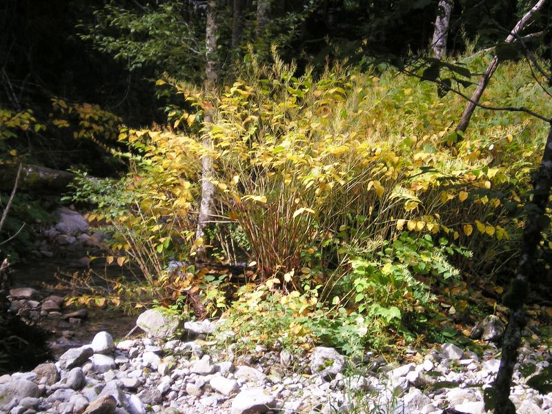 Skykomish_Tye_Knotweed_after_injection_2005