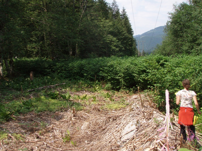 Skykomish_Tye_River_large_knotweed_patch_half_controlled_2007