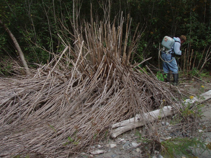Skykomish_knotweed_retreatment_July_2007