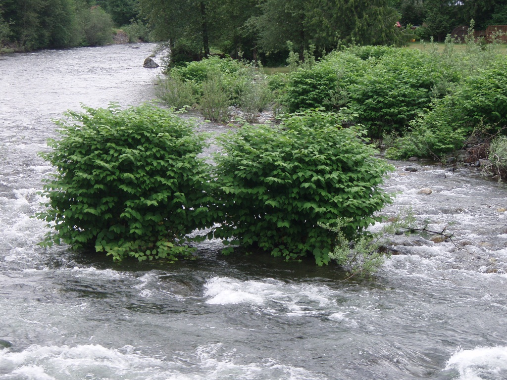 Knotweed on an island in the South Fork Snoqualmie River