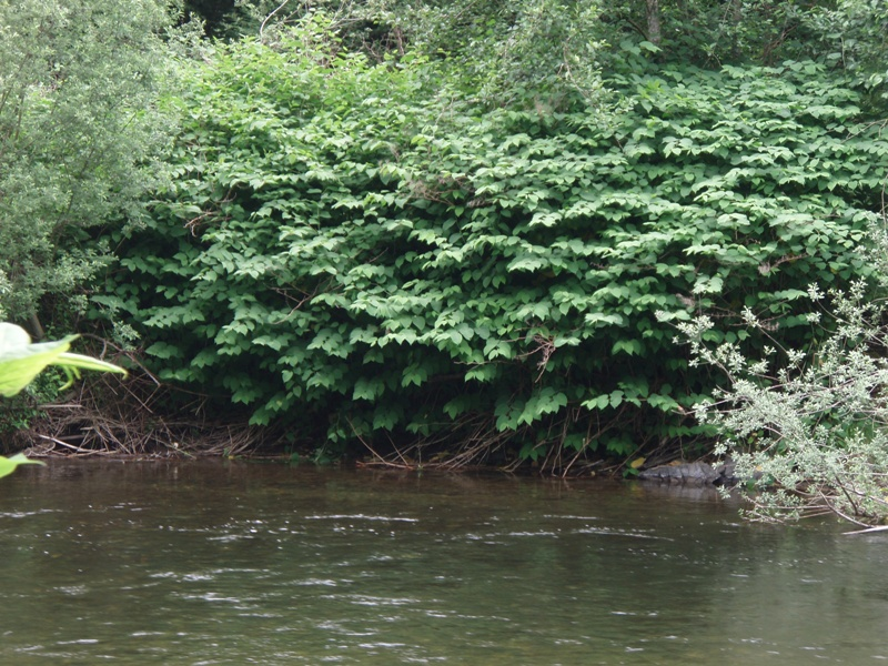 South Fork Snoqualmie River knotweed patch, 2007