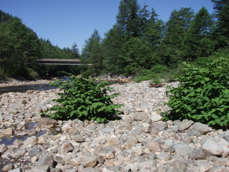 South Fork Snoqualmie River knotweed on cobble, 2008