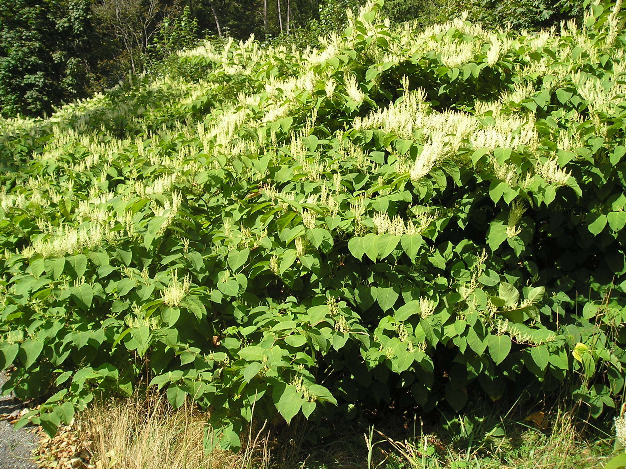 Knotweed by Beckler River Rd