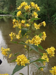 Garden Loosestrife (Lysimachia vulgaris) - click for larger image