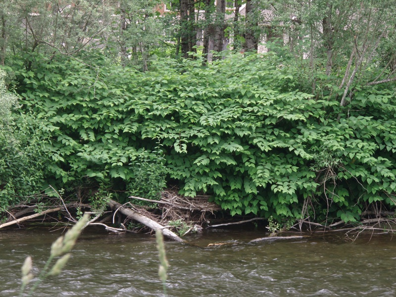 Knotweed on Cedar River