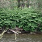 Knotweed on Cedar River - click for larger image