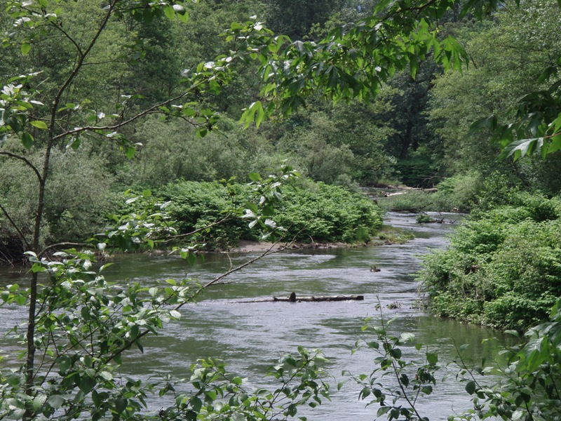 Cedar River with knotweed