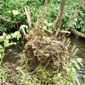 Knotweed root crown - click for larger image