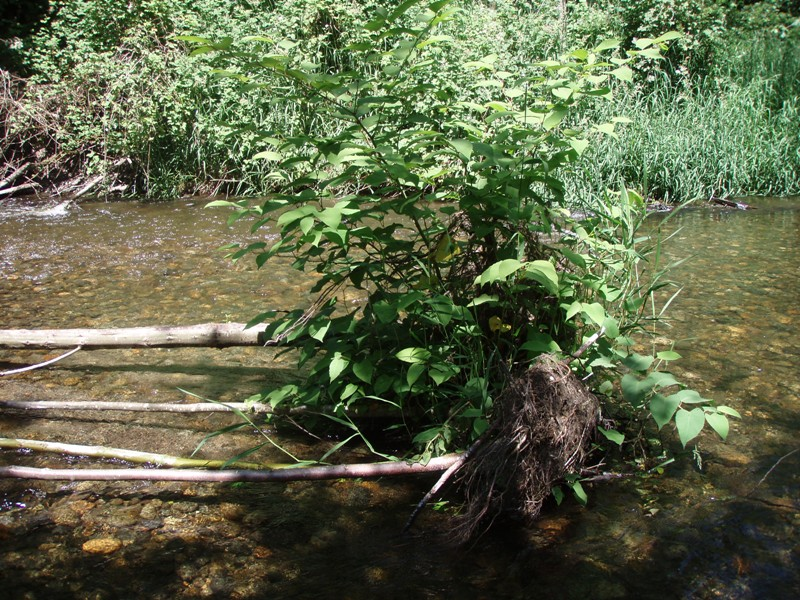 Knotweed on fallen tree in river