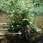 Knotweed on fallen tree in river - click for larger image
