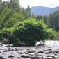 Knotweed clump in river - click for larger image