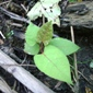 Knotweed new leaves - click for larger image